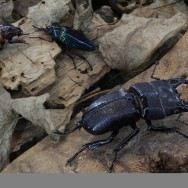 berck beetles