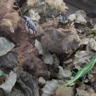 berck lizards