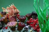 Poisson Lion et anémones de mer