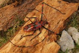 coleoptera_cerambycidae1-157x105