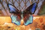 farfalla_blu1-157x105