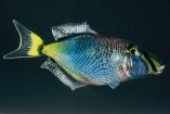 pesce1-157x105