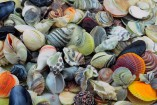 seashells-157x105